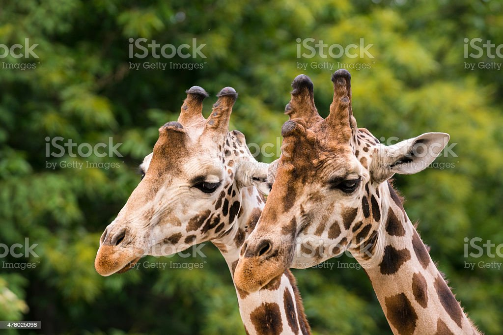Close-up of two giraffes among trees stock photo