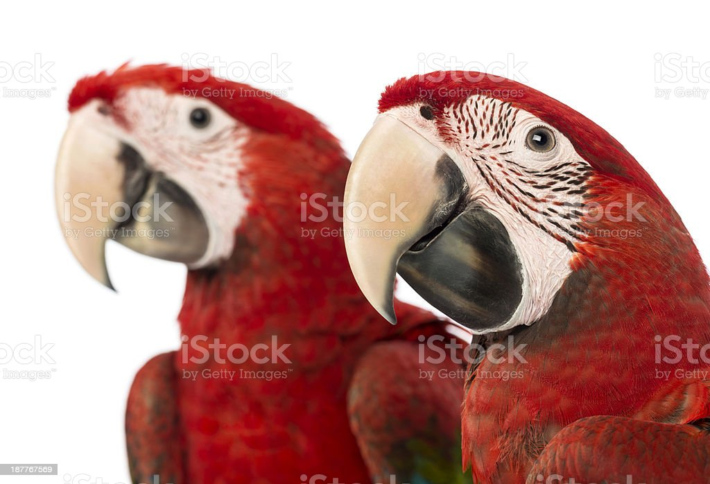 Close-up of two Green-winged Macaws, 1 year old royalty-free stock photo