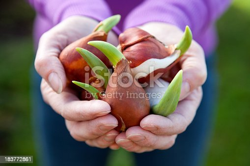 Gardeners hands holding sprouting tulip flower bulbs.