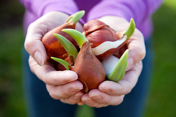 Close-up of two hands holding a bunch of tulip bulbs Gardeners hands holding sprouting tulip flower bulbs. plant bulb stock pictures, royalty-free photos & images