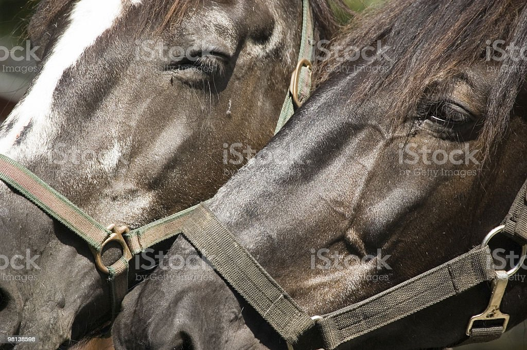 Close-up of two horse heads royalty-free stock photo