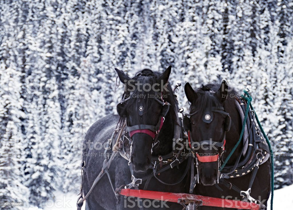 Close-up of two horses pulling the sleigh in Lake Louise,Banff National Park,Alberta,Canada stock photo