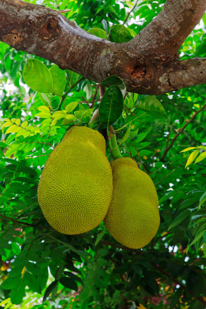 Close-up of two jackfruits hanging on a tree branch (Artocarpus Heterophyllus) stock photo