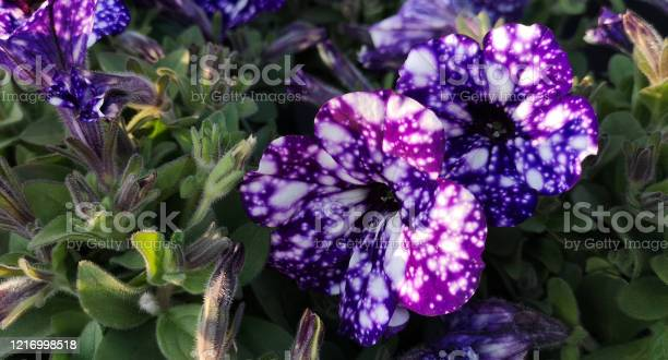 Photo of Close-up of two large and several small purple-blue and violet spotted flowers of petunias Night sky,or Starry night,among fleecy pubescent dark green foliage.Hybrid species bred by German breeders