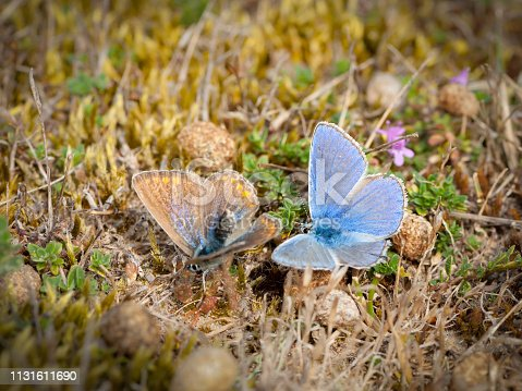 Closeup of two lycaenid butterflies (Lycaenidae, Lepidoptera) mating on the ground