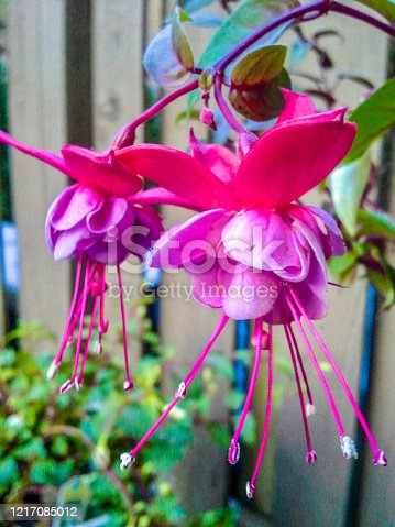 A close-up of two pink Fuchsia