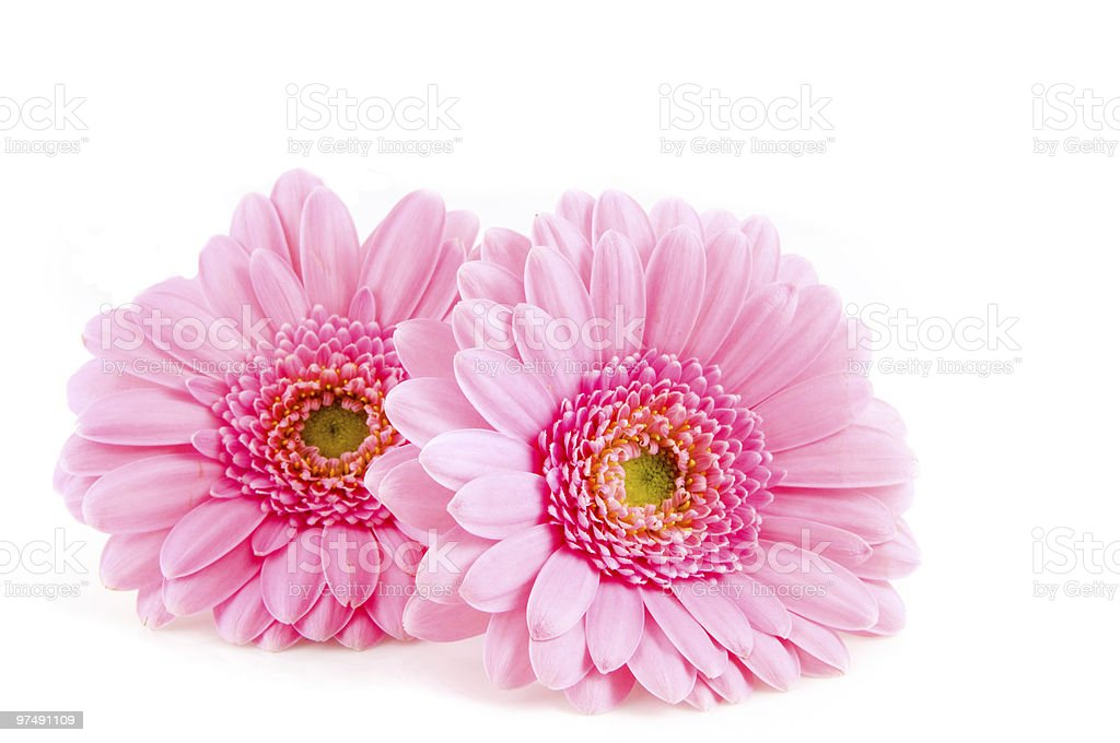 Close-up of two pink Gerber daisies on white background royalty-free stock photo