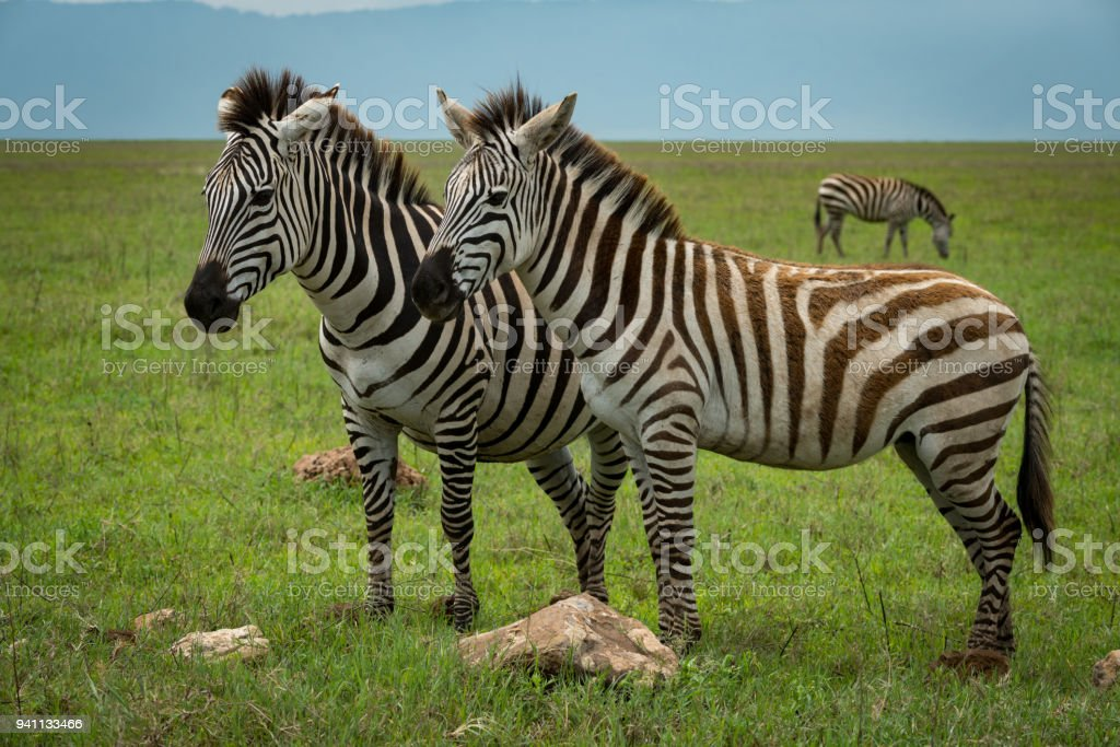 Close-up of two plains zebra facing camera stock photo