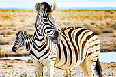Close-up of two Plains zebras in Namibian steppes by waterhole.