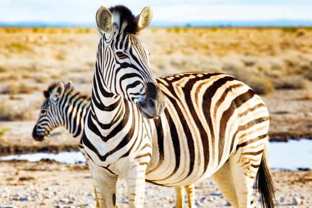 Nahaufnahme zweier Plains Zebras in namibischen Steppen durch Wasserloch – Foto