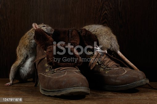Close-up of two rats and   brown boots on the wooden floors. One rat stands near  of boot. The concept of rodent control  in the apartment. Extermination.