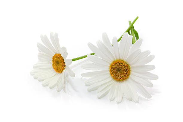Close-up of two white daisies with stems on white background stock photo