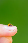 Closeup of two yellow ladybugs mating on the male finger with a soft blurred background.