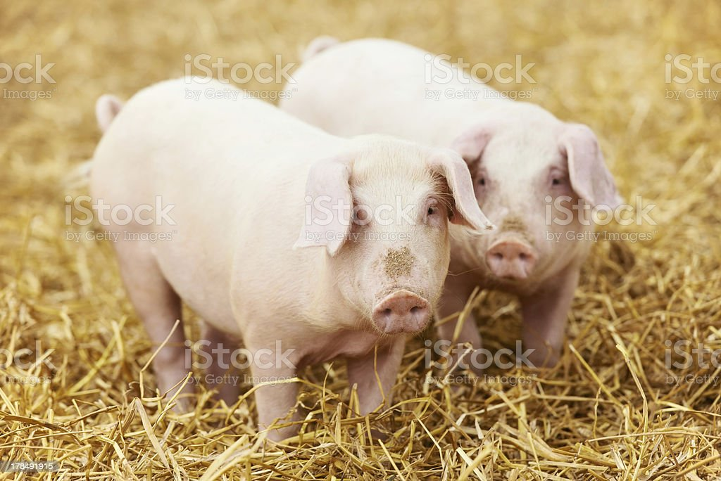 Close-up of two young piglets on hay at farm stock photo