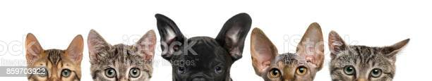Closeup of upper heads of cats and dog isolated on white picture id859703922?b=1&k=6&m=859703922&s=612x612&h=gwe2a md2kbgh77grdjvswlo 2dw6ielacppxtcvfna=