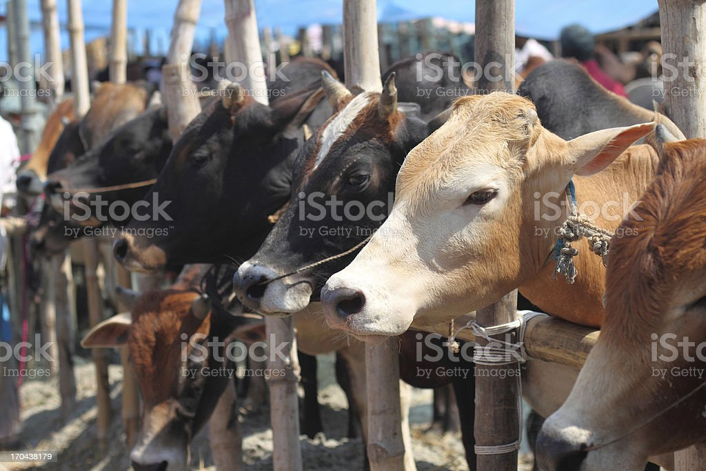 Close-up of variety of cattle locked up in cattle market stock photo