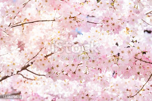 Closeup of vibrant pink cherry blossoms on sakura tree branch with fluffy flower petals in spring at Washington DC with sunlight and backlight