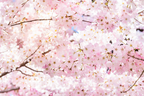 closeup of vibrant pink cherry blossoms on sakura tree branch with fluffy flower petals in spring at washington dc with sunlight and backlight - cherry blossoms imagens e fotografias de stock