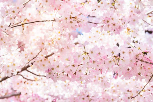 nahaufnahme von leuchtenden rosa kirschblüten auf sakura-baumzweig mit flauschigen blütenblättern im frühling bei washington dc mit sonnenlicht und rücklicht - kirschblüte stock-fotos und bilder