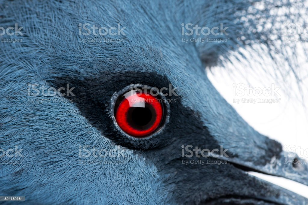 Close-up of Victoria Crowned Pigeon - Goura victoria stock photo