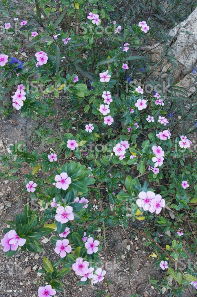 closeup of vinca flowers stock photo more pictures of agriculture