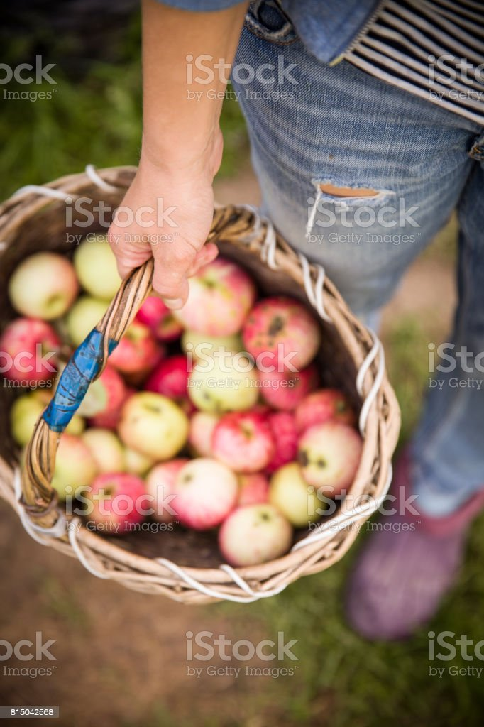 Closeup of vintage basket with organic apples in woman's hands. Garden harvest. Summer. outdoors. Woman holding a big basket of fruit. Healthy lifestyle and eating. stock photo
