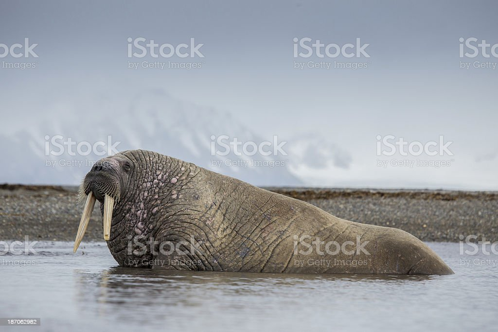 Close-up of walrus with broken tusk resting in water stock photo