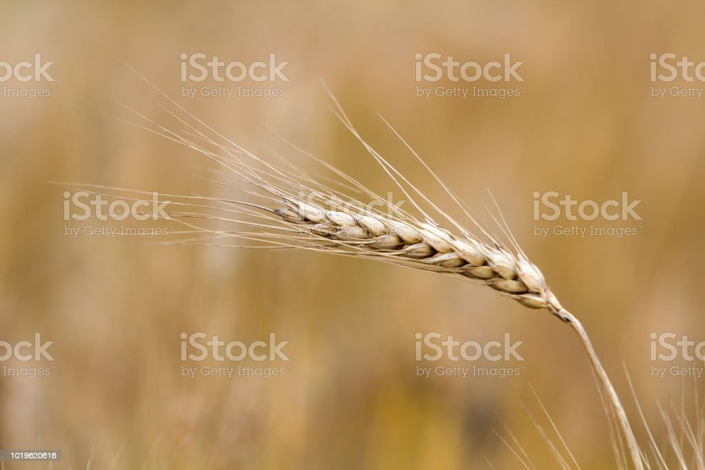 Closeup Of Warm Colored Golden Yellow Ripe Focused Wheat