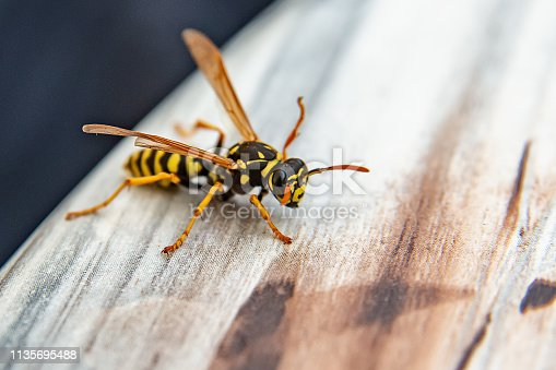 Close-up of wasp