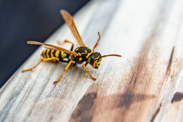 Close-up of wasp Close-up of wasp pest stock pictures, royalty-free photos & images