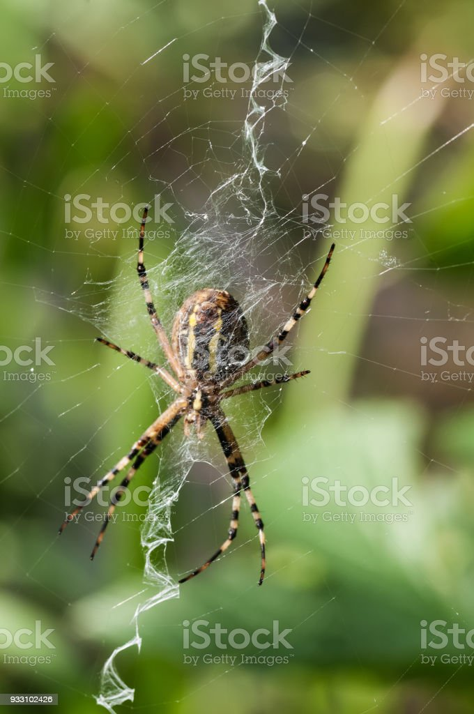 Close-up of wasp spider in its zigzag web stock photo