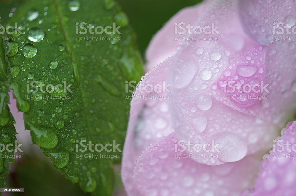 Close-up of water drops on petals and leaf of rose royalty-free stock photo
