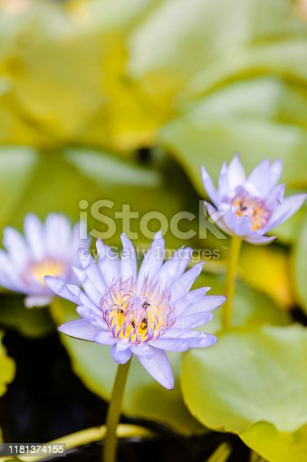 Close-up of water lily at The Grand Palace of Bangkok, Thailand