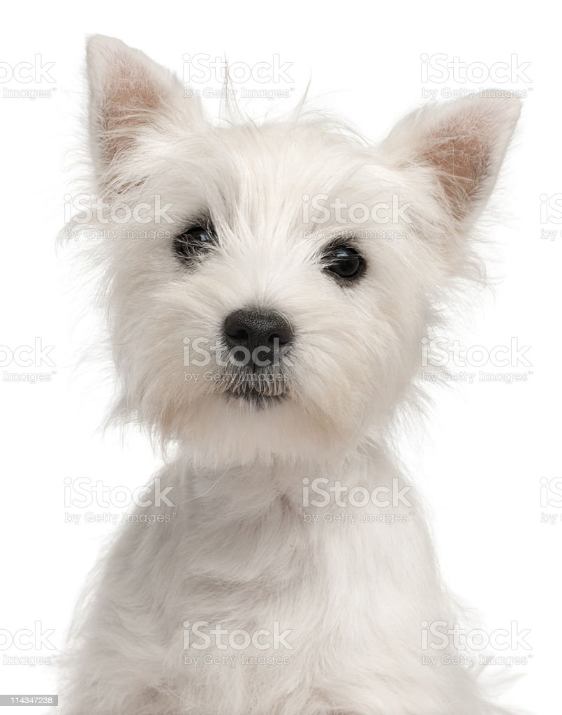 Close-up of West Highland Terrier puppy, white background. stock photo