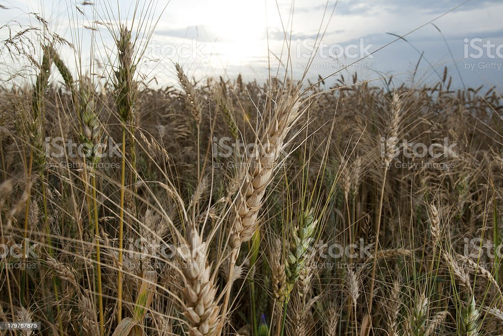 Close-up of wheat ear. Selective focus. royalty-free stock photo
