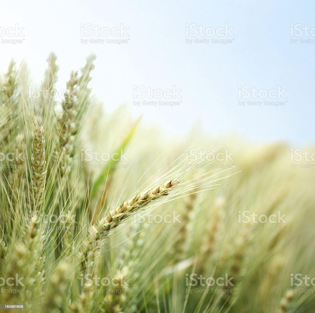 Closeup of wheat field. stock photo