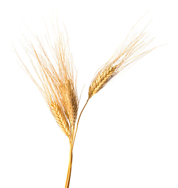 Close-up of wheat isolated on white background Wheat spikes isolated on white background ear of wheat stock pictures, royalty-free photos & images