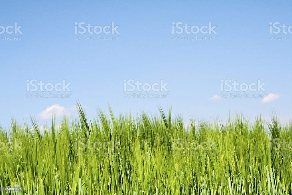Close-up of wheat, the blue sky royalty-free stock photo