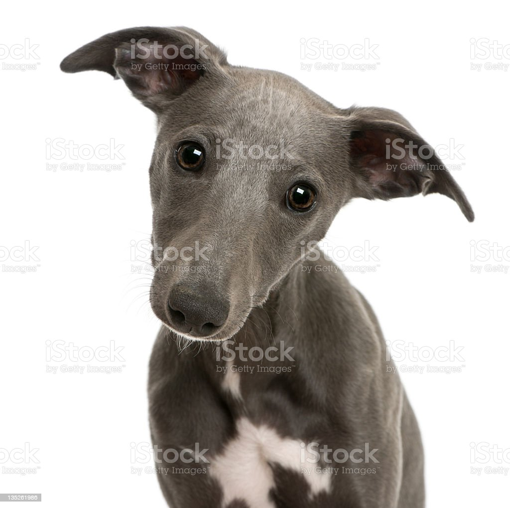 Close-up of Whippet puppy, 6 months old stock photo
