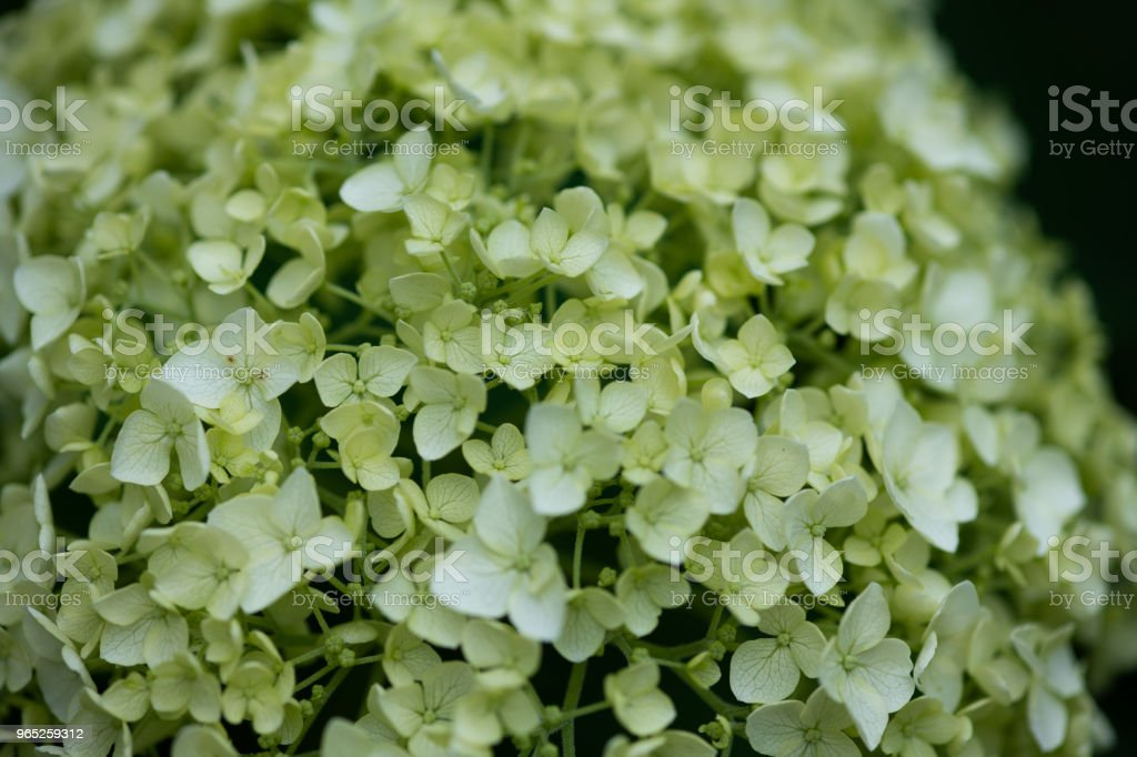close-up of white and green hydrangea flower royalty-free stock photo