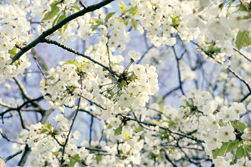 Close-up Of White Cherry Blossoms.