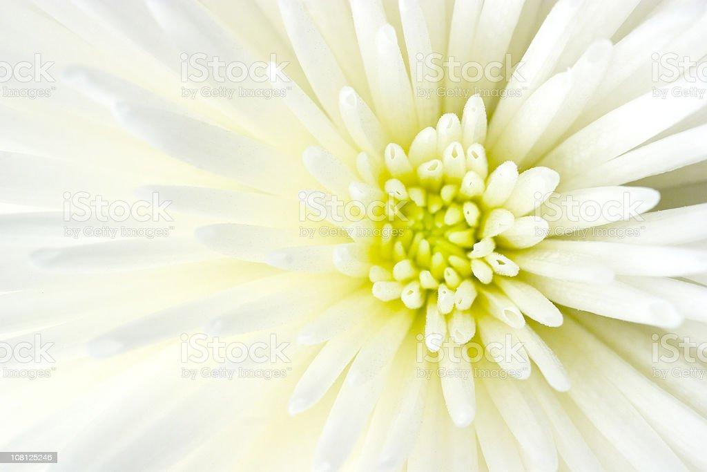 Nahaufnahme des weißen Chrysantheme Blume Lizenzfreies stock-foto