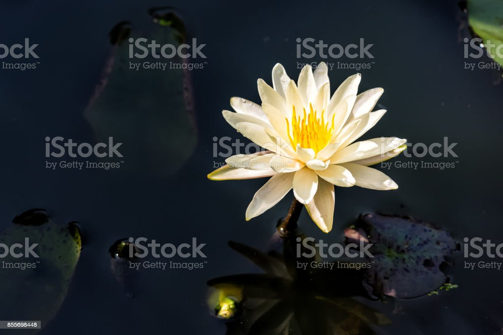 Closeup of white, cream open lily flower in pond water with...