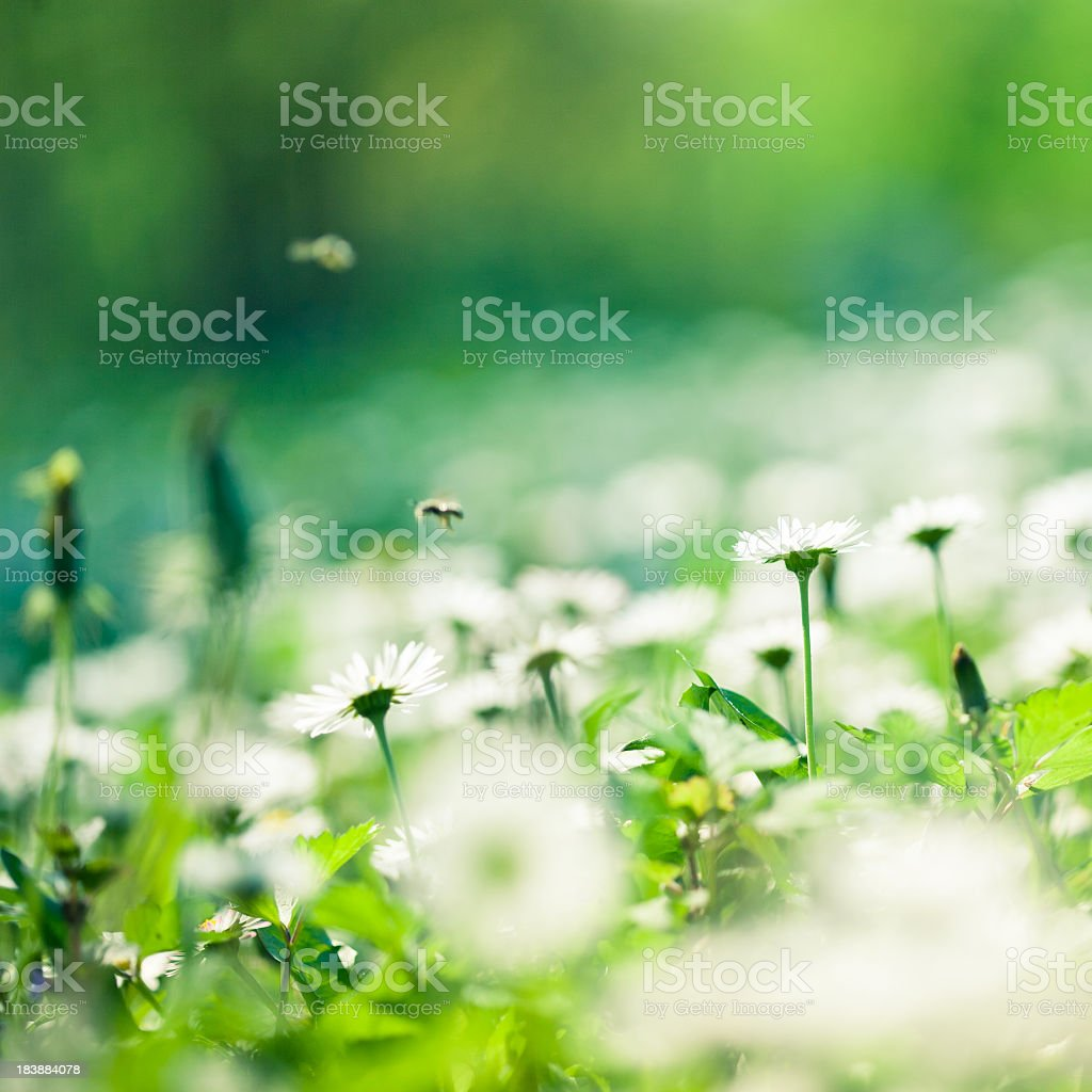 Close-up of white daisies on a field with hovering bees royalty-free stock photo