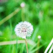 Close-up of white dandelion.
