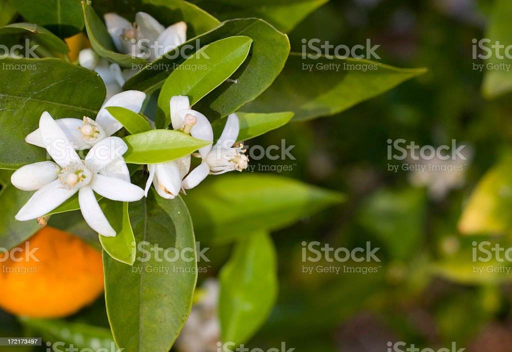 A close-up of white flowers on an orange tree stock photo
