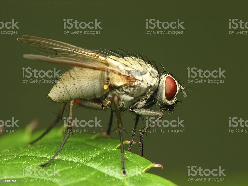 Close-up of white fly royalty-free stock photo