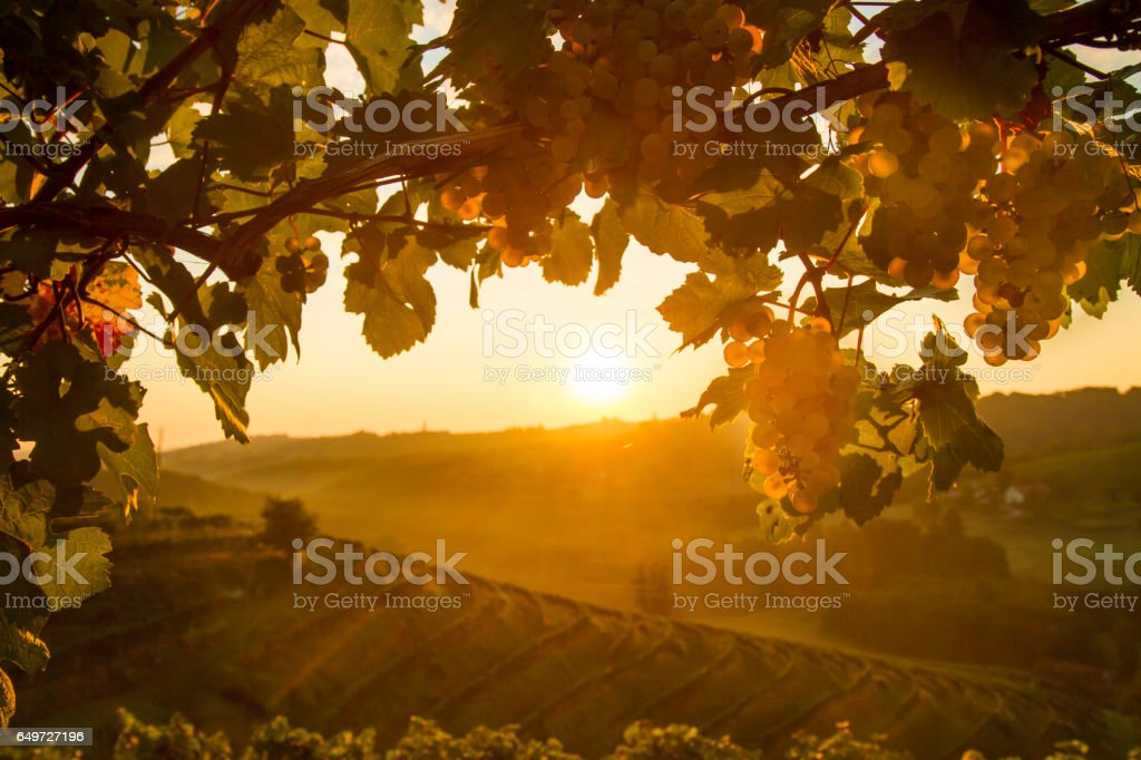 Close-up of white grapes on plants at vinery stock photo