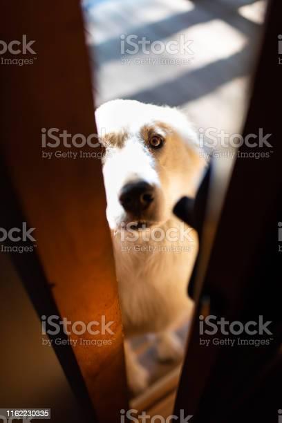 Closeup of white great pyrenees dog peeking through home or house picture id1162230335?b=1&k=6&m=1162230335&s=612x612&h=qd8cv6ryzgdywy9hb9xnjchf2s2lmozpukb0f drmmu=
