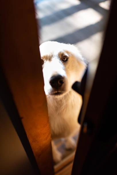 Closeup of white great pyrenees dog peeking through home or house door, asking begging to get inside stock photo
